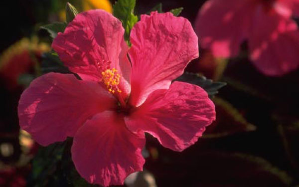bright hot pink hibiscus flower attracts birds and butterflies