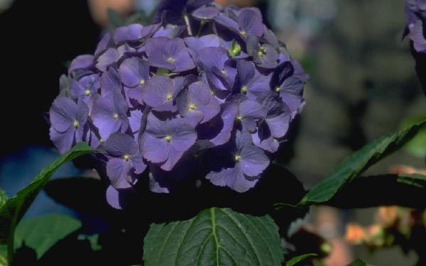 beautiful purple hydrangea