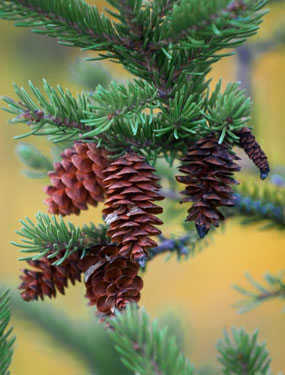 pinecone on pine tree