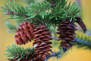 pine tree and pinecone thumbnail image