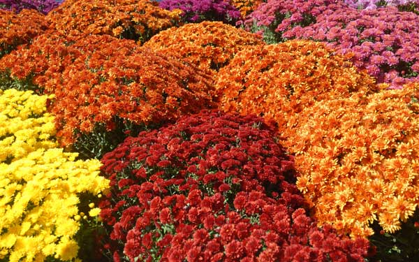 Spring planting for fall flowers house plans and more for Popular fall flowers