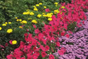 Colorful Flowers for Backyard Landscape