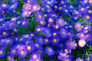 purple aster flowers thumbnail