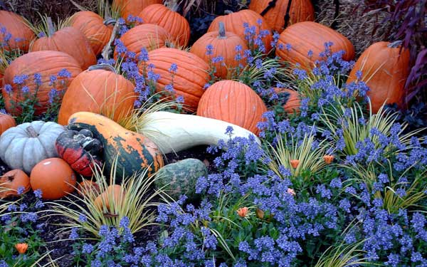 leadwort purple flowers and pumpkins