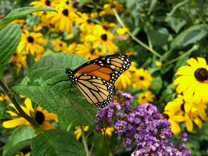 Planting Butterfly Gardens House Plans And More