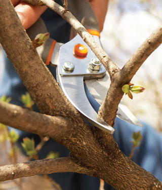 pruning a tree in fall