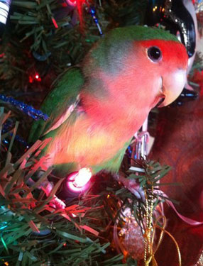 pet bird in Christmas tree