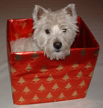 Westie in Christmas box