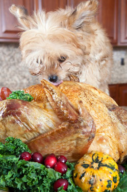 dog eating holiday turkey