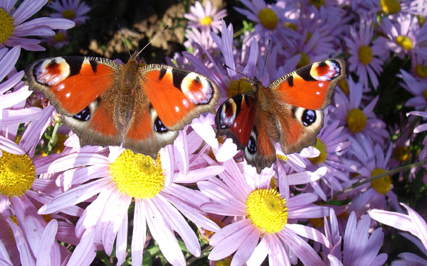 orange butterflies on flowers