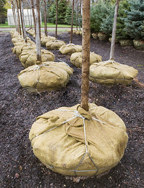 trees with roots wrapped in burlap