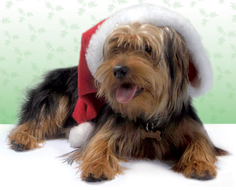 Yorkie with Santa Hat